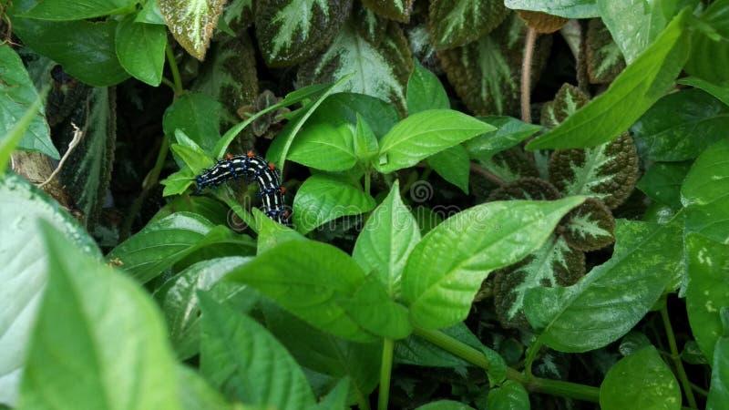 Piękny Caterpillar w zielonej roślinie zdjęcie stock