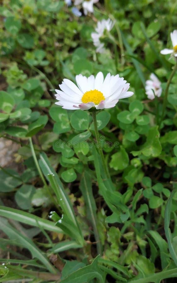 Piękny chamomile wącha dobrego Mały kwiat w dużej trawie fotografia stock