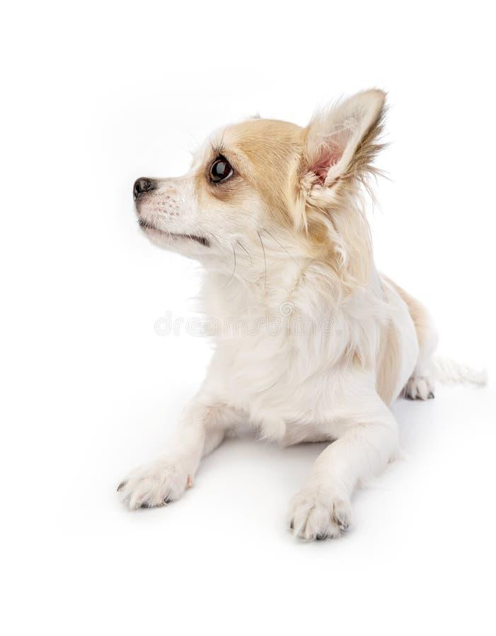 Piękny chihuahua psa portret fotografia royalty free