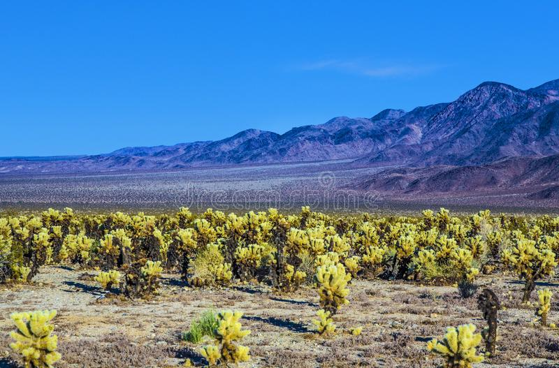Piękny Cholla kaktusa ogród w Joshua drzewa parku narodowym obraz royalty free