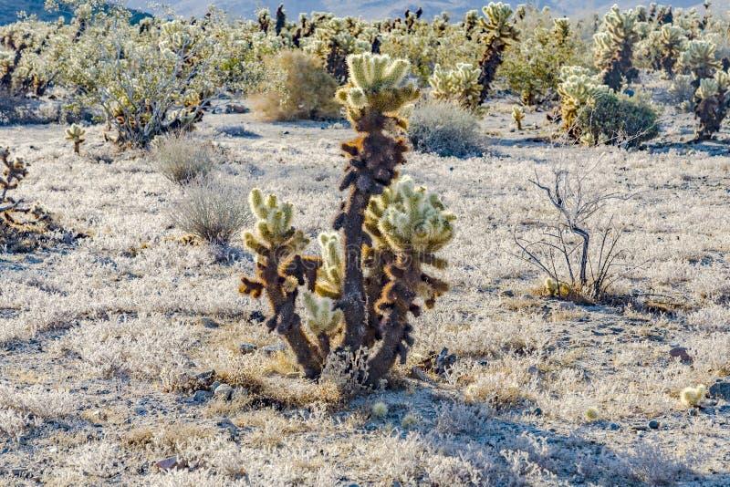 Piękny Cholla kaktusa ogród w Joshua drzewa parku narodowym zdjęcia stock