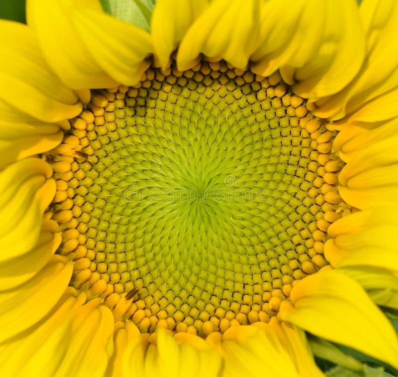 Piękny ciepły słonecznika zakończenie zdjęcia stock