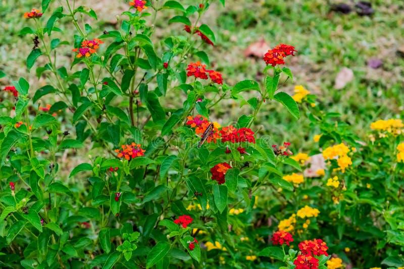 Piękny colourful kwitnący Lantana camara na ogródzie z motylim lataniem na kwiacie z greenery opuszcza w porze deszczowej zdjęcie stock