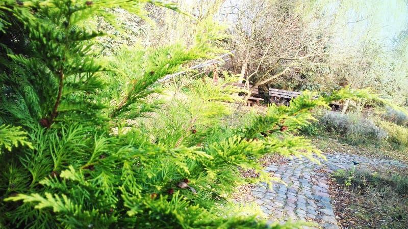 Piękny conifer w ogródzie zdjęcie stock