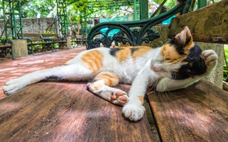 Piękny Cycowy kot ono czyści w dziwacznej pozyci zdjęcie stock