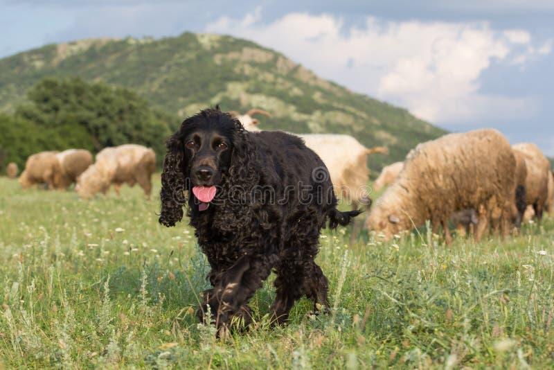 Piękny czarny Cocker spaniel odprowadzenie na trawie w polu przez cakli zdjęcia stock