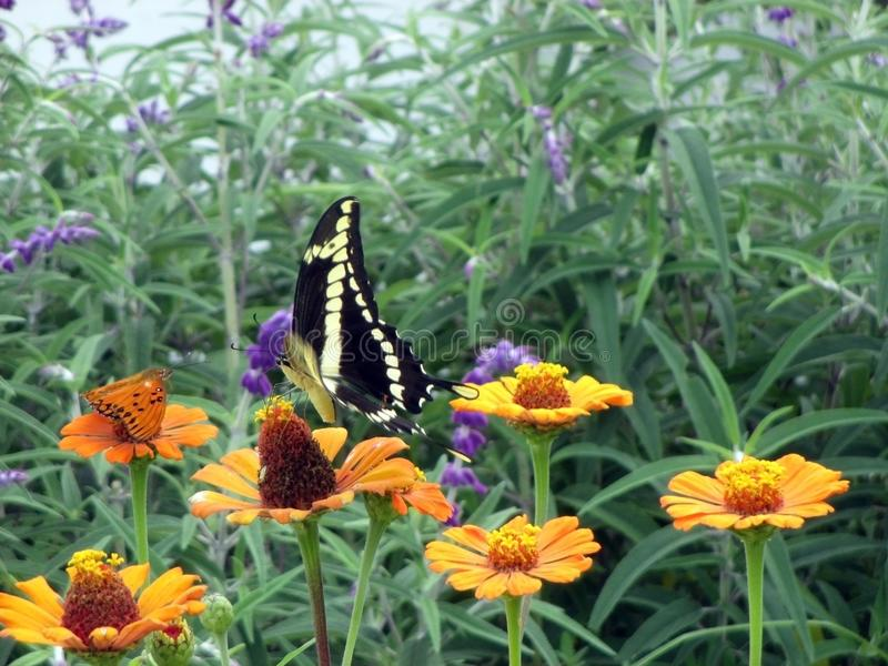 Piękny czarny i żółty motyli tyczenie na kolorowych zinnias w wiosna ogródzie zdjęcie royalty free