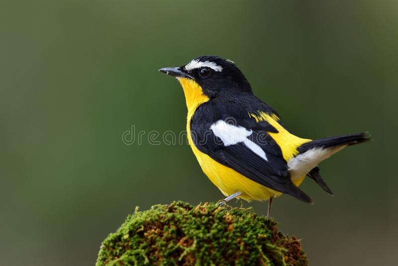 Piękny czarny i żółty ptak z białym punktem na swój skrzydło dowcipie zdjęcia stock