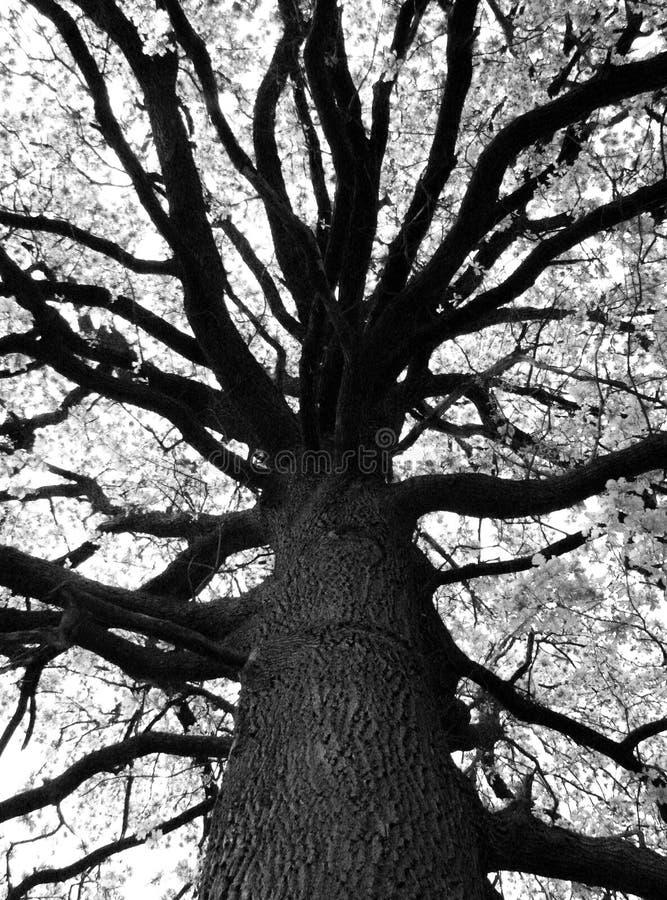 Piękny czarny i biały drzewo fotografia stock