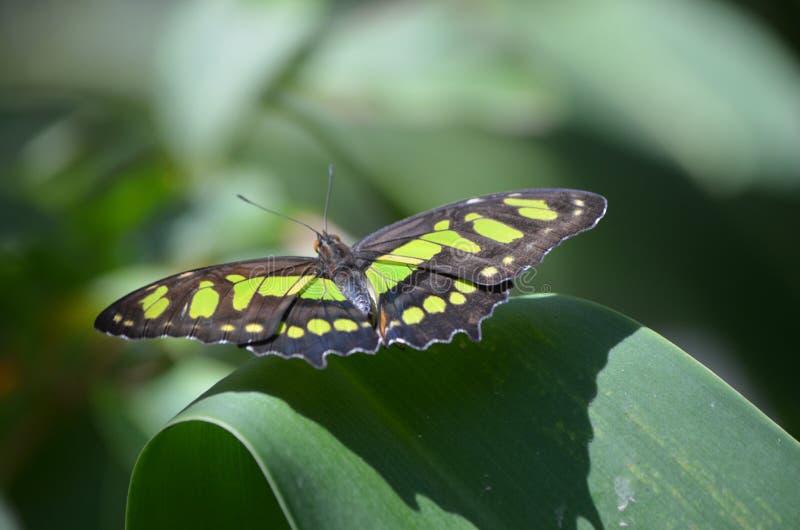 Piękny Czarny i Zielony Malachitowy motyla Up zakończenie zdjęcia royalty free