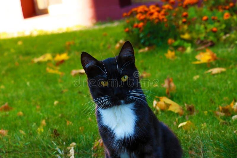 Piękny czarny kot z długim wąsy zamkniętym w górę fotografia stock