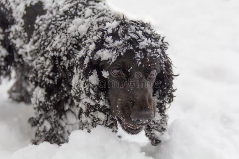 Piękny czarny młody Cocker spaniel, pies bawić się w śniegu zdjęcia royalty free