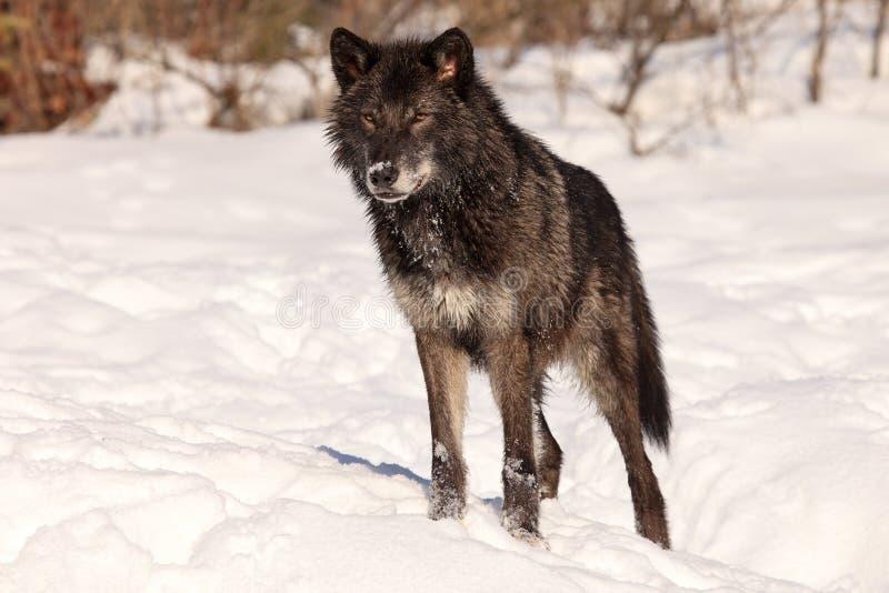 Piękny czarny wilk zdjęcie stock