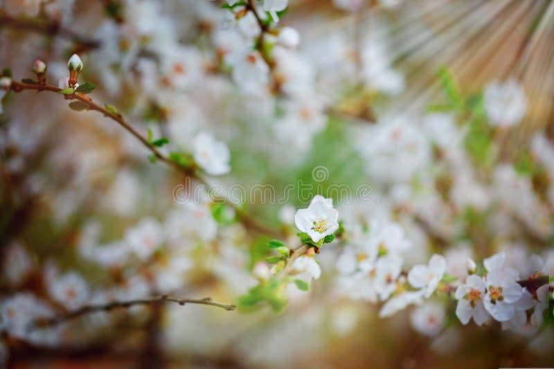Piękny czereśniowego drzewa kwitnienie, delikatni mali biali kwiaty na gałązce nad plamy tłem, piękno wiosna sezon zdjęcie royalty free