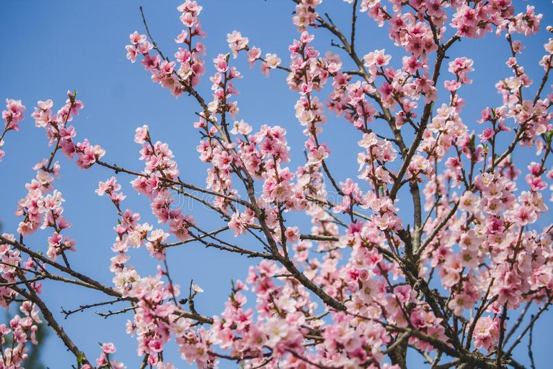 Piękny czereśniowego okwitnięcia drzewo z błękitnym naturalnym tłem obraz royalty free