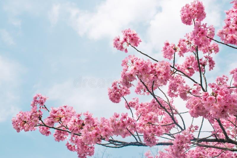 Piękny czereśniowy okwitnięcie Sakura w wiosna czasie nad niebieskim niebem fotografia stock