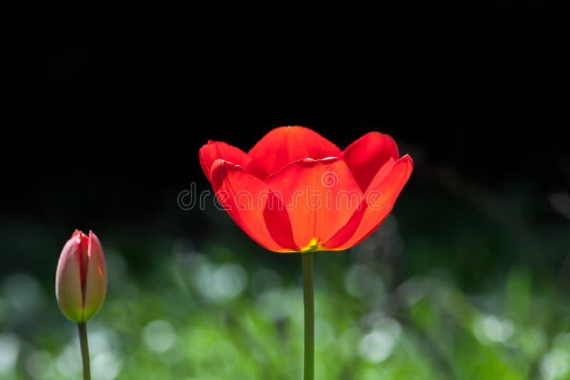 Piękny czerwień ogródu kwiat Wiosny kwitnący tulipanowy otwarcie obrazy stock