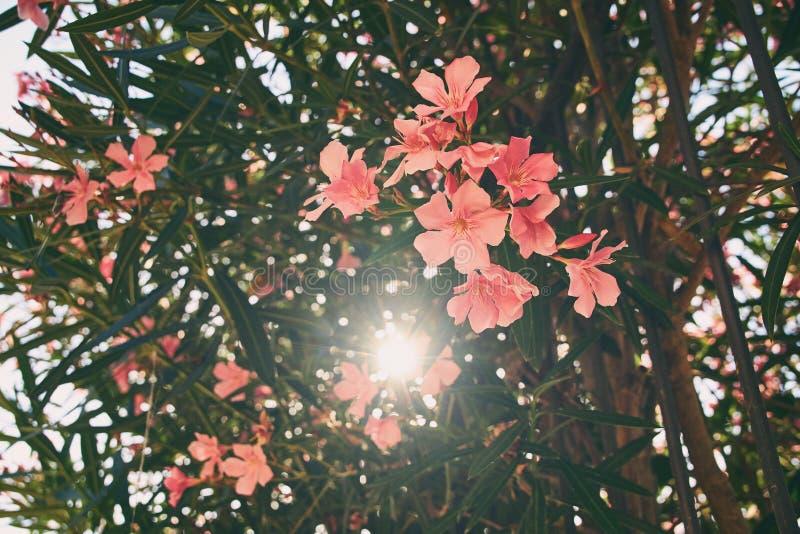 Piękny czerwieni i menchii nerium oleandrowy tropikalny drzewo kwitnie z ładnym bokeh tłem obraz royalty free