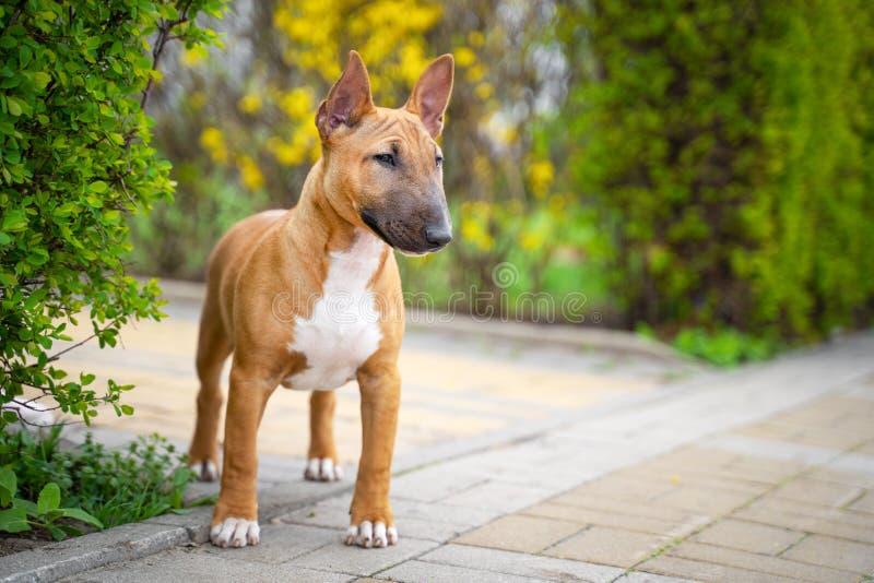PiÄ™kny czerwieni miniatury Bull terrier szczeniak outdoors fotografia stock