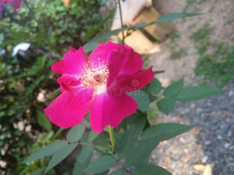 Piękny czerwieni róży kwiat naturalna fotografia zdjęcia royalty free