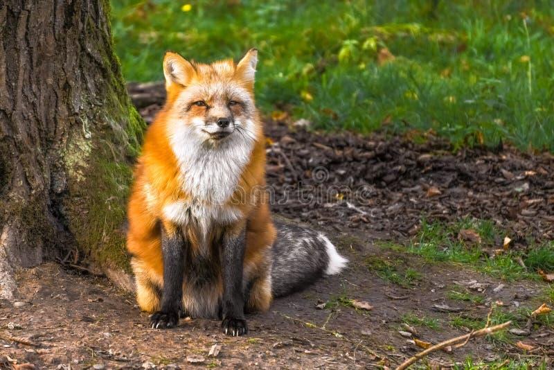 Piękny czerwonego lisa vulpes vulpes w lesie obraz royalty free