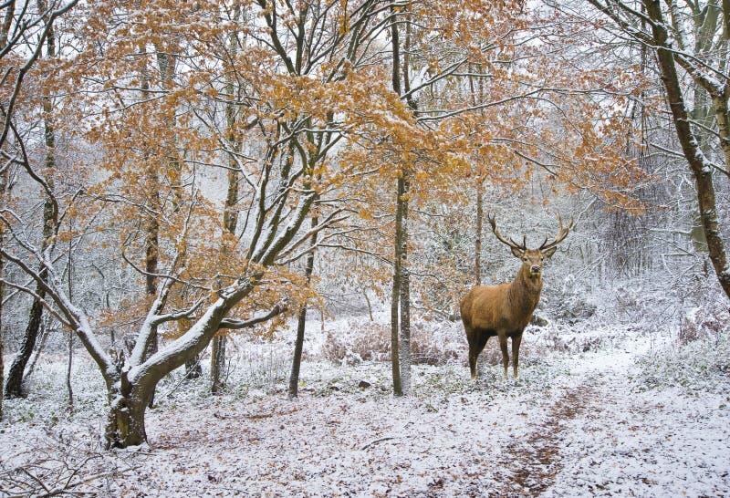 Piękny czerwonego rogacza jeleń w śniegu zakrywał świąteczną sezon zimę fo obraz stock