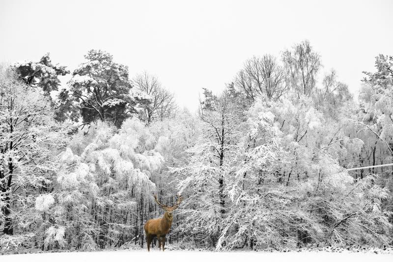 Piękny czerwonego rogacza jeleń w śniegu zakrywał świąteczną sezon zimę fo zdjęcie stock