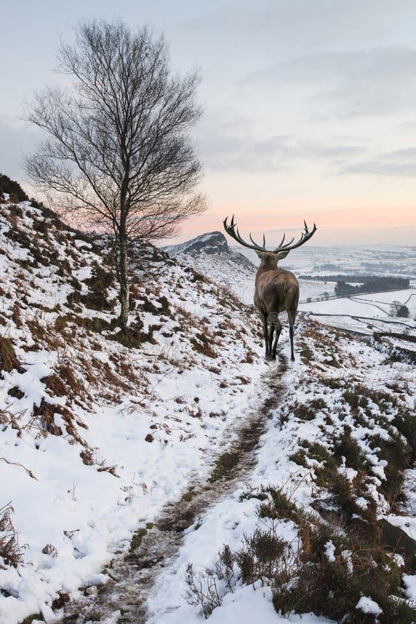 Piękny czerwonego rogacza jeleń w śniegu zakrywał pasmo górskie świąteczny s fotografia royalty free