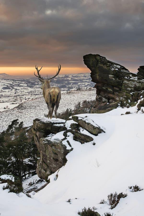 Piękny czerwonego rogacza jeleń w śniegu zakrywał pasmo górskie świąteczny s fotografia stock