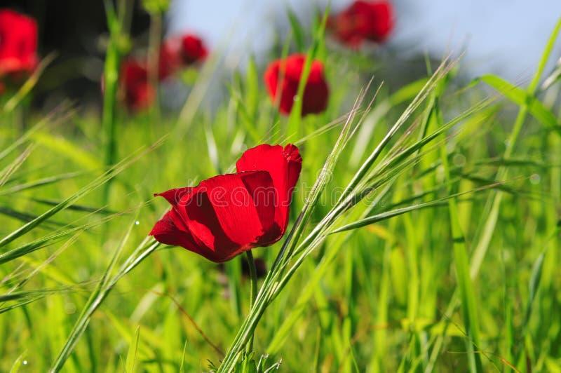 Piękny czerwony anemonowy kwiat fotografia royalty free