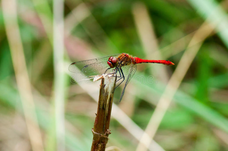 Piękny Czerwony Dragonfly siedzi zdjęcia stock