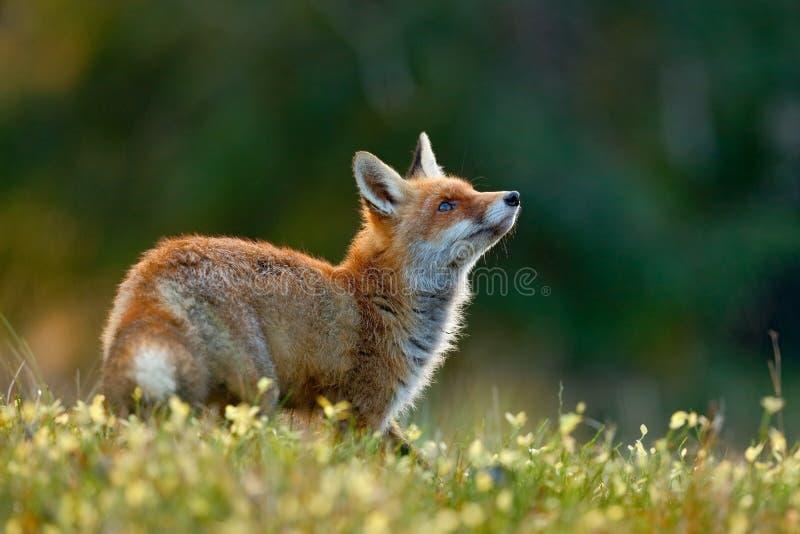 Piękny Czerwony Fox, Vulpes vulpes przy zielonym lasem z kwiatami, fotografia stock