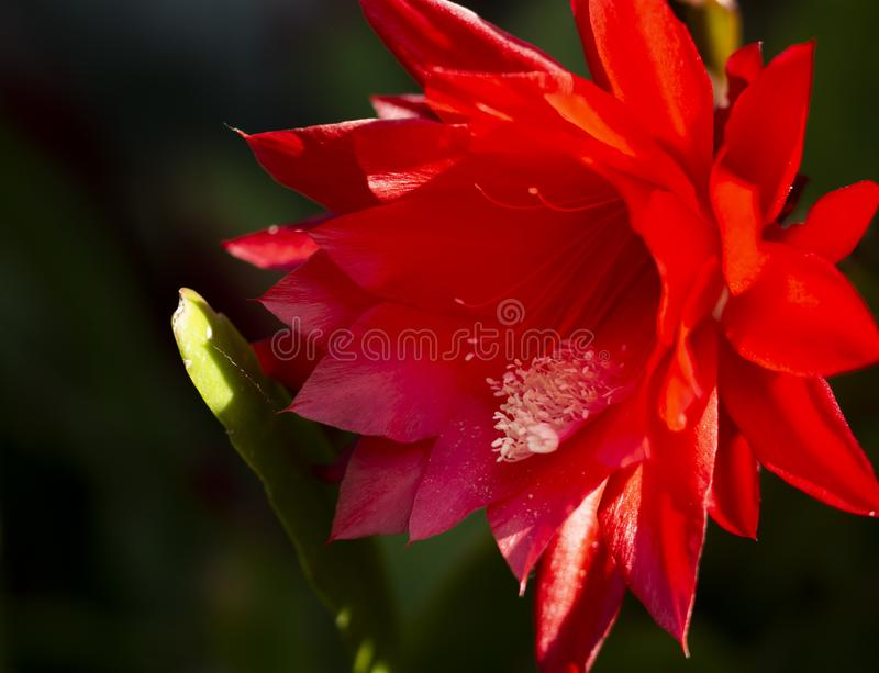 Piękny czerwony kaktusowy kwiat w kwiacie zdjęcie stock