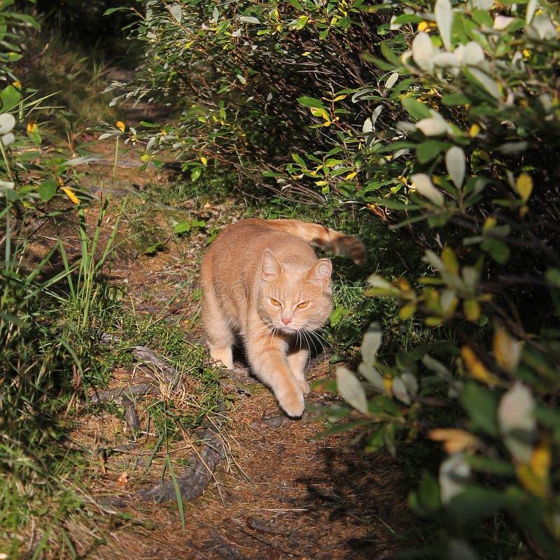 Piękny czerwony kot na tle Chukchi natura zdjęcie royalty free