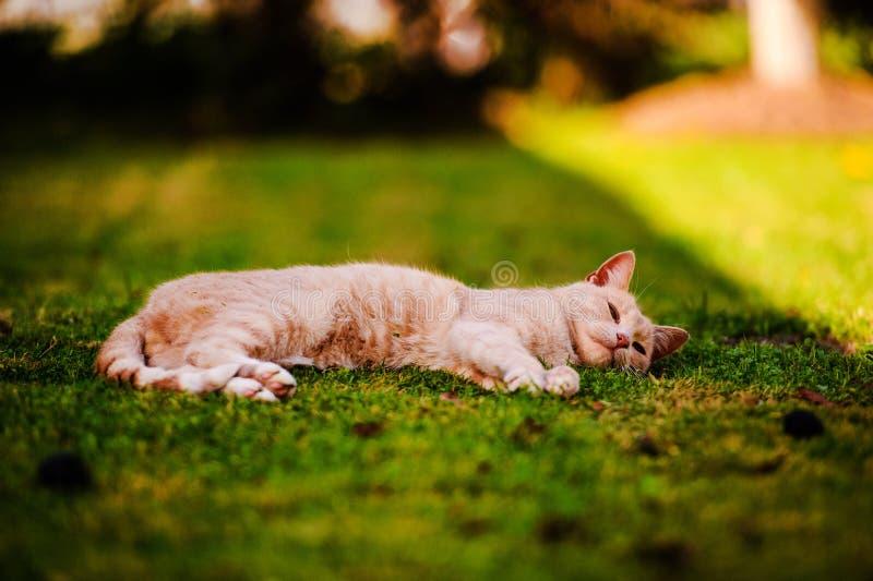 Piękny czerwony kot na zielonej trawie drzewo pola Zwierz?ca planeta fotografia stock