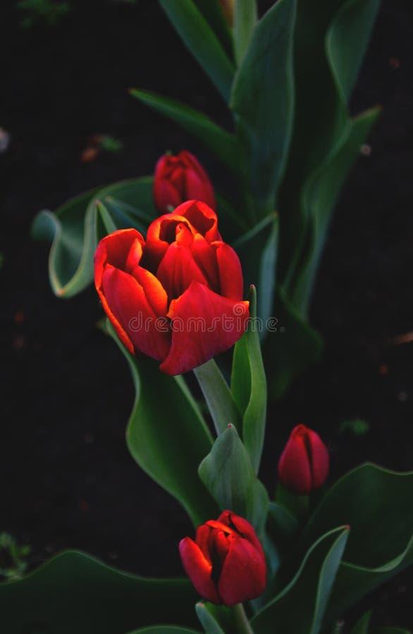 Piękny czerwony kwiat obrazy stock