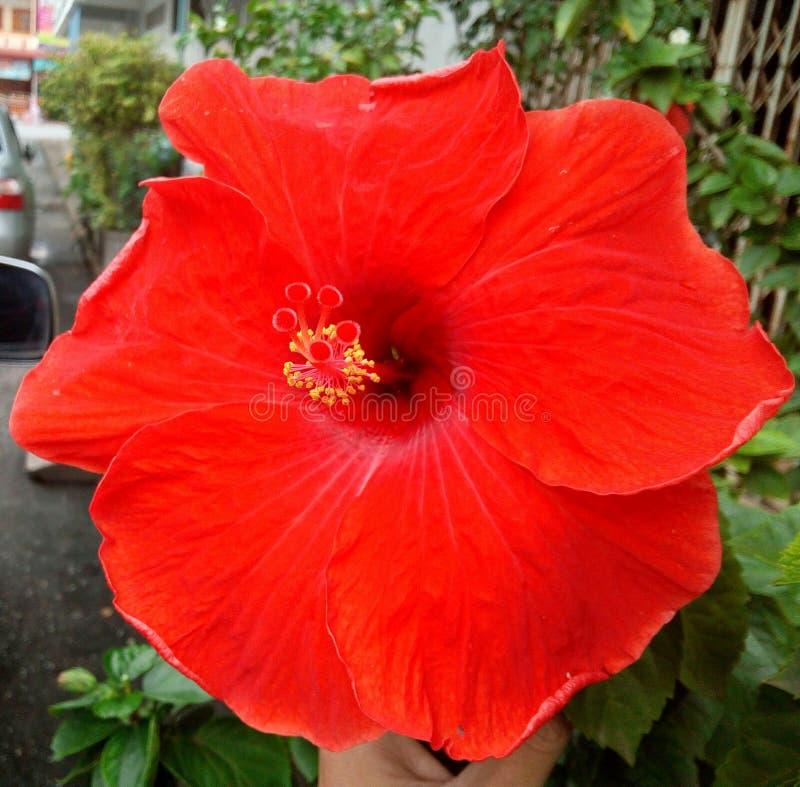 Piękny Czerwony kwiatu poślubnika fotografii yala Thailand obraz royalty free
