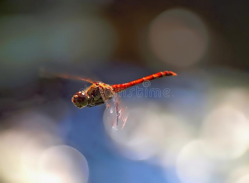 Piękny czerwony latający wrzosowiskowy dragonfly obrazy stock