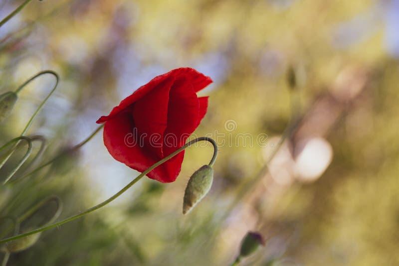 Piękny czerwony maczek w koloru żółtego i zieleni śródpolnym tle zdjęcie stock