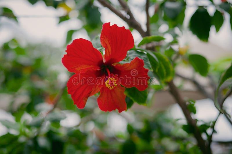 Piękny, Czerwony Plumeria kwitnienie w Dzikim, w Hawaje fotografia stock