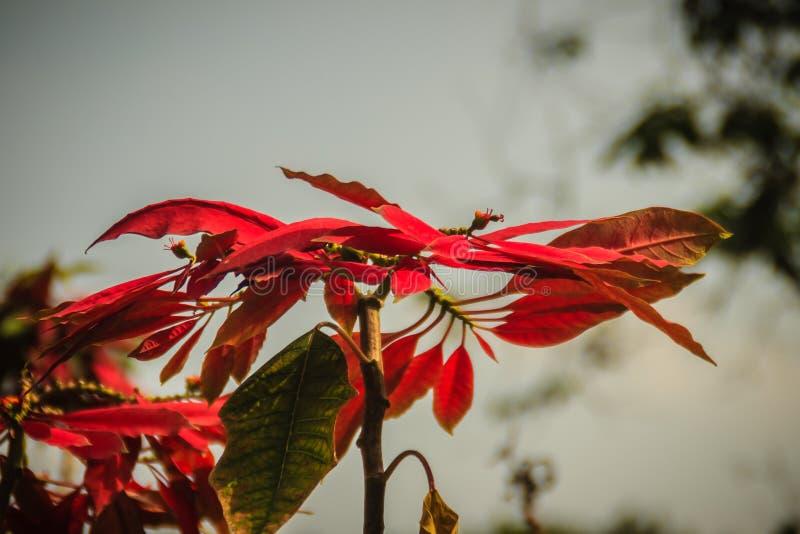 Piękny czerwony poinsecja kwiat, także kn (euforbii pulcherrima) zdjęcia royalty free
