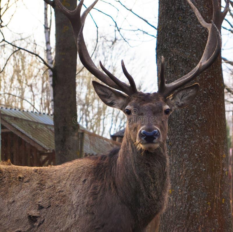 Piękny czerwony rogacz w Zoologicznym parku obraz royalty free