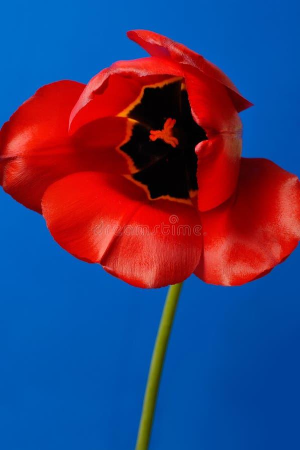 piękny czerwony tulipan obraz royalty free