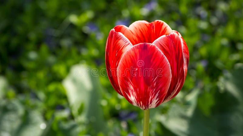 Piękny czerwony tulipan który r w parku fotografia royalty free
