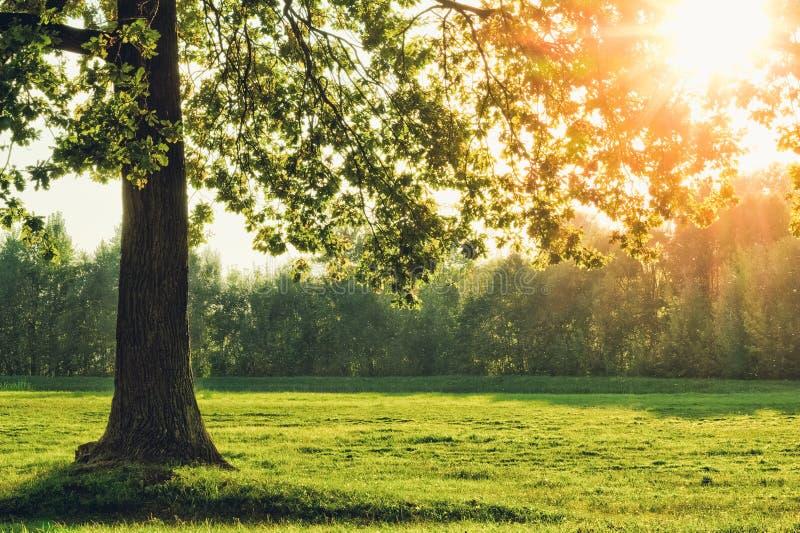 Piękny dębowy drzewo z słońcem w ulistnieniu fotografia royalty free