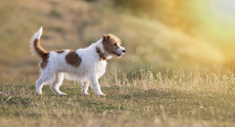 Piękny dźwigarki Russell teriera purebred pies zdjęcie royalty free