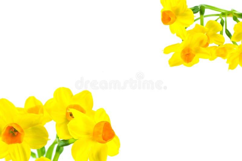 Piękny daffodil kwiat odizolowywający na białym tle obrazy stock