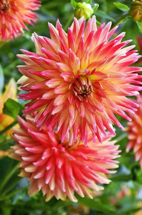 Piękny dalhia kwitnie w ogródzie obraz royalty free