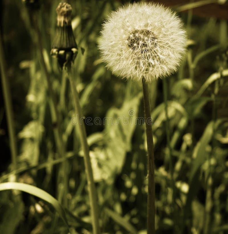 piękny dandelion, doskonałość i prostota styl, zdjęcia royalty free