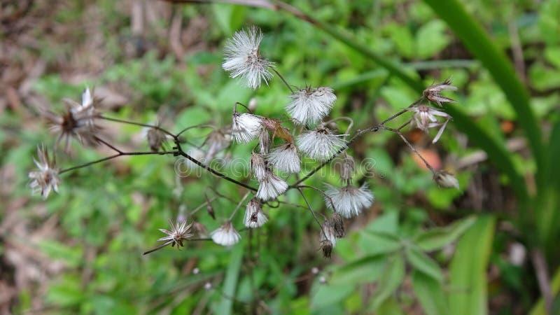 Piękny dandelion z insektem na nim obraz royalty free